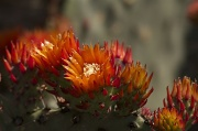 24th May 2011 - Cactus Flower