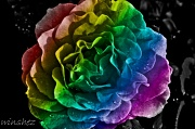 4th Jun 2011 - rainbow rose final