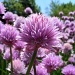 Burst of Chives by lauriehiggins