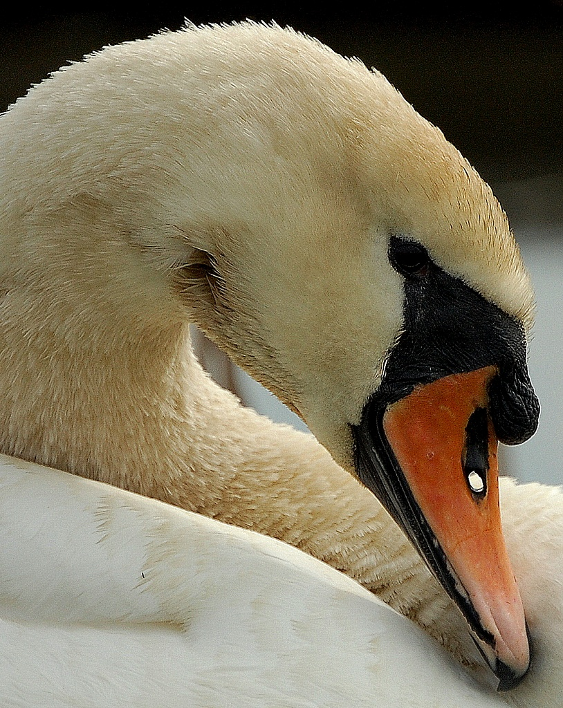 Swan by andycoleborn