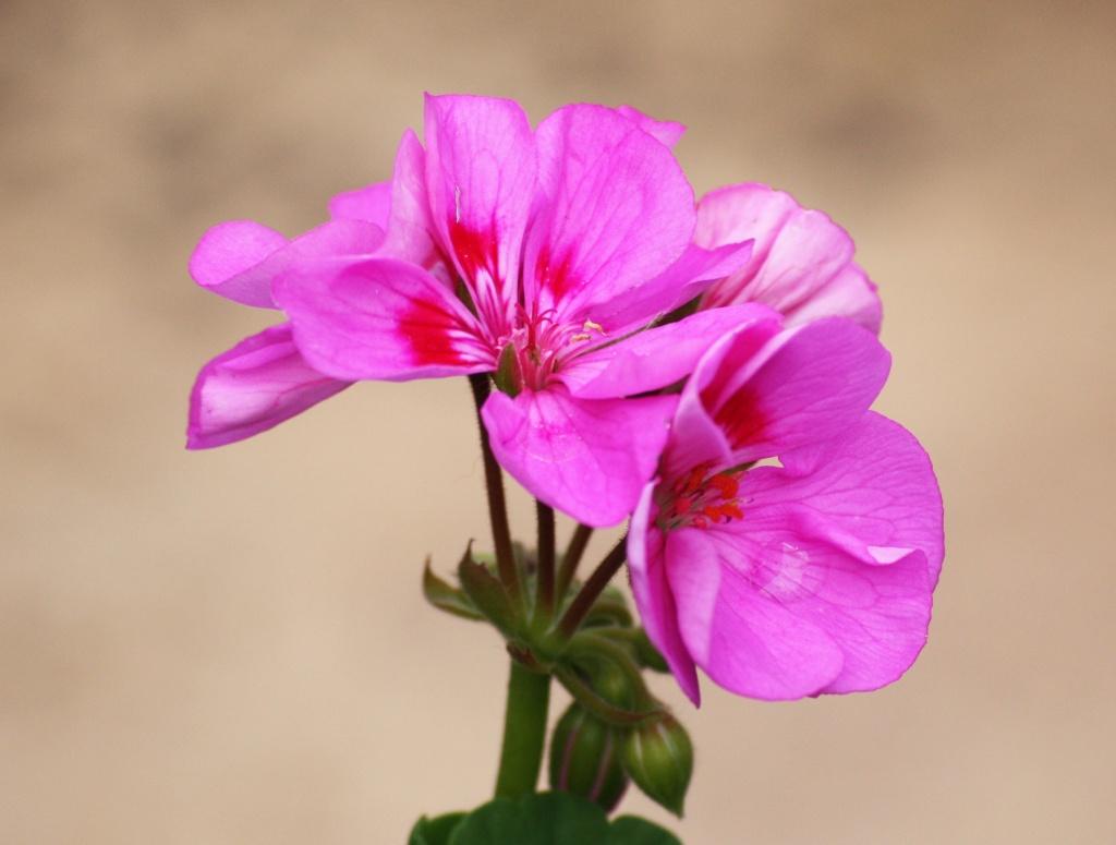 Pink Geranium by phil_howcroft