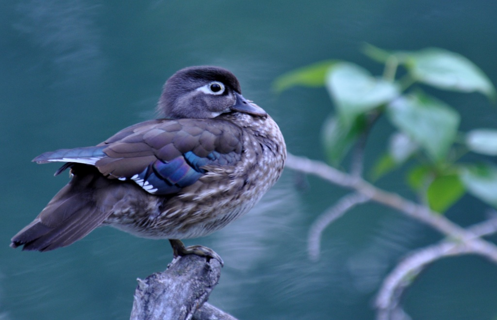 female wood duck by mjalkotzy