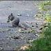 Richland Squirrel by hjbenson