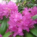 the rhododendron season by jmj