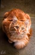 11th Jun 2011 - Crouching moggy ginger kitten