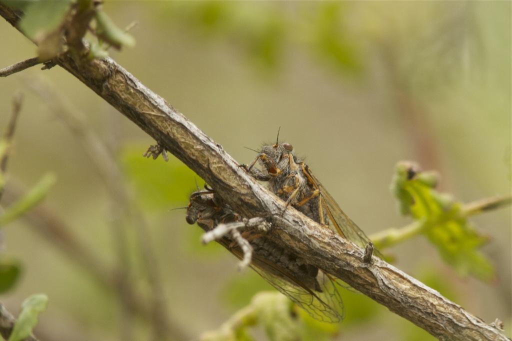 Cicada Cicada by robv
