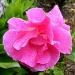 Rose in Bloom by lauriehiggins
