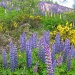 lupin extravaganza by jmj