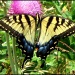Two-tailed Swallowtail by cjwhite