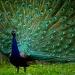 Peacock Preen by latza