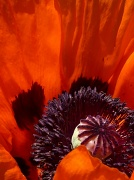 14th Jun 2011 - Poppy Perspective
