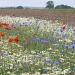 Field flowers by dulciknit