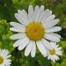 daisy, daisy by jmj