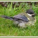 Great tit fledgling by judithdeacon