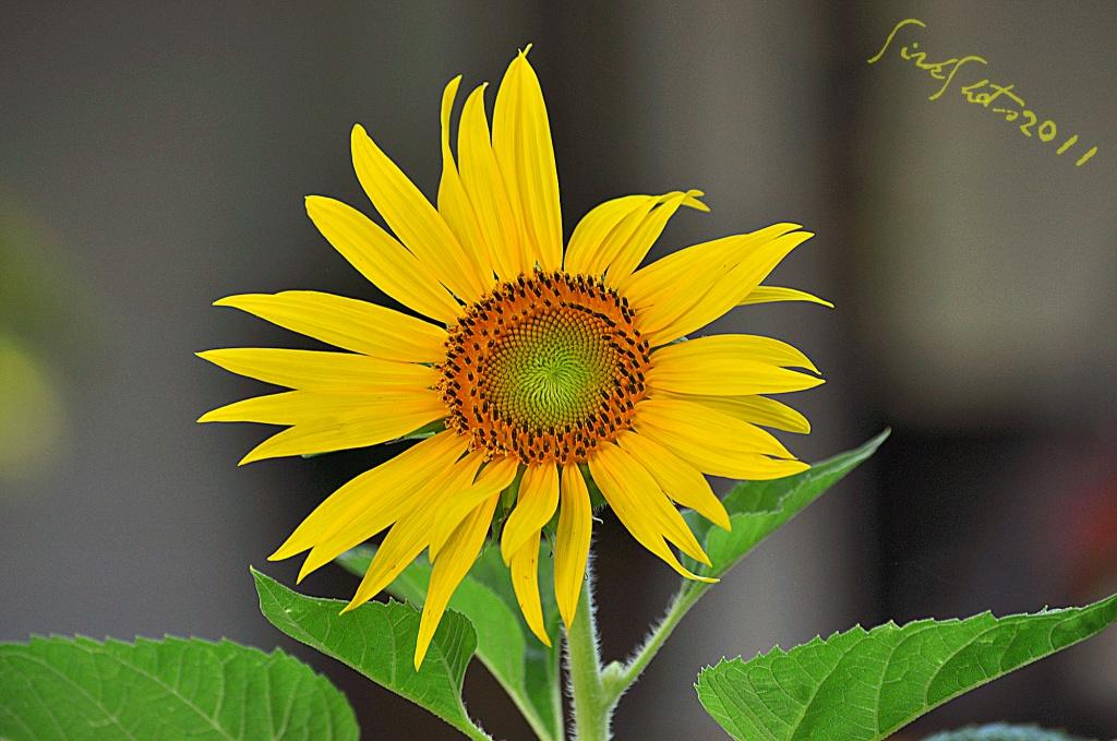 Sunflower by peggysirk