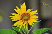 19th Jun 2011 - Sunflower