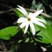 Star Jasmine by loey5150