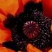 Poppy Power by denisedaly