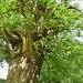 Spanish chestnut tree.  by snowy