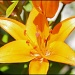 Tualatin Lily by hjbenson