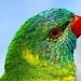 Lorikeet at leisure by ltodd