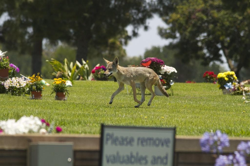 Memorial Coyote  by robv