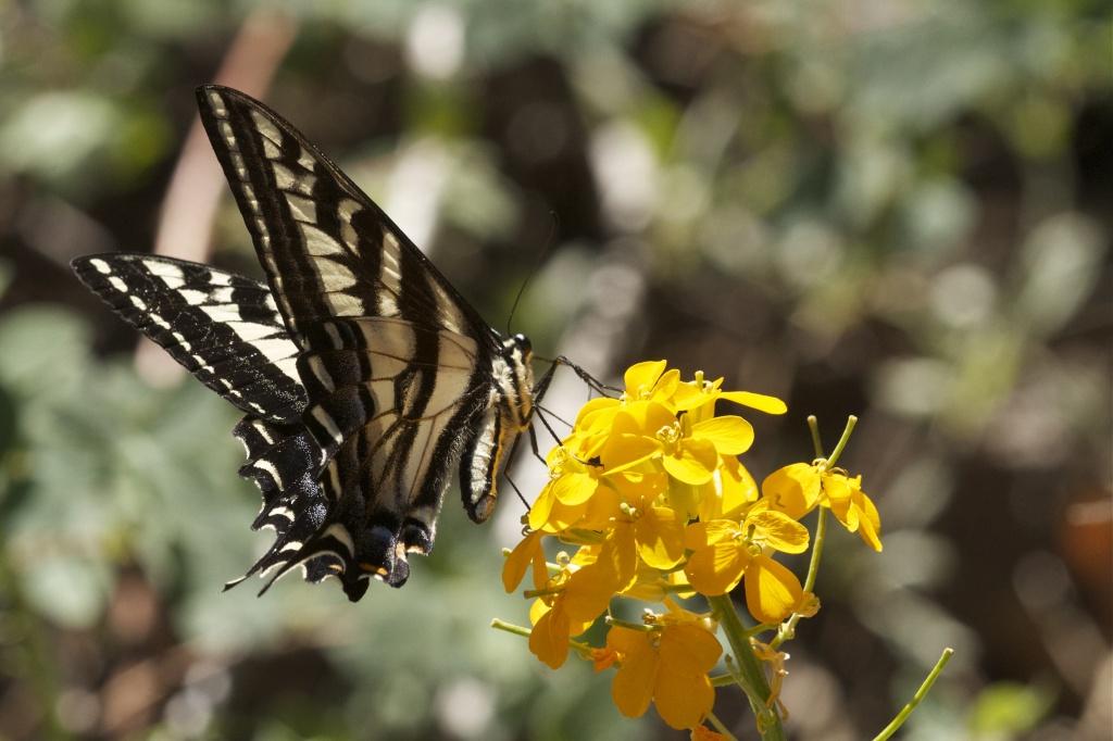 Pale Swallowtail by robv