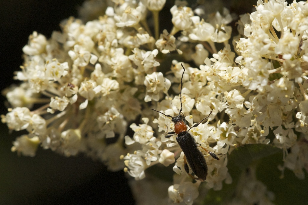 Blood-necked Longhorn Beetle by robv