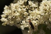 19th Jun 2011 - Blood-necked Longhorn Beetle
