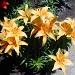 Lilies by kchuk