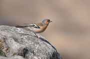 13th Apr 2010 - Chaffinch