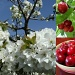 Cherry collage by busylady
