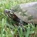Turtle by kdrinkie