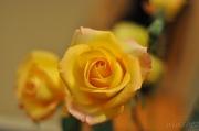29th Jun 2011 - birthday rose