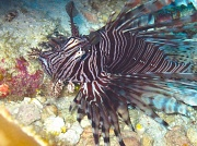 2nd Jul 2011 - A face only its mother could love/ugly-beautiful - The Lionfish