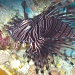 A face only its mother could love/ugly-beautiful - The Lionfish by lbmcshutter