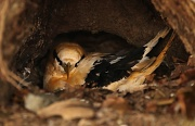 5th Jul 2011 - Nesting Golden Bosun Bird - they nest on the ground and often fall victim to feral cats