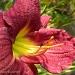Daylily by sunnygreenwood