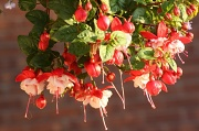 5th Jul 2011 - fuschia flowers under my hanging basket