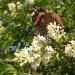 Ligustrum ovalifolium with  butterfly by pyrrhula