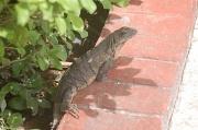 1st Jul 2011 - Iguana