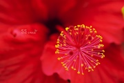8th Jul 2011 - Red Hibiscus