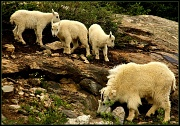 8th Jul 2011 - Mountain Goat and Her Babies!