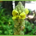 Common Mullein by olivetreeann