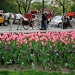 Tulips in New York by dora
