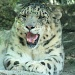 The snow leopard. by maggie2