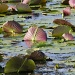 Lilly Pads by twofunlabs