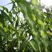 The corn is as high... by svestdonley