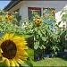 sunflower 2 by hjbenson