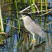 Black Crested Night Heron by twofunlabs